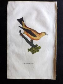 Brightly 1815 Antique Hand Col Bird Print. Crossbill